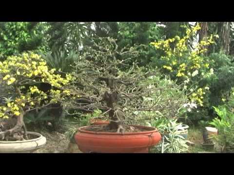 Mai ghép - Một cây mai ghép nhiều loại bông mai .
