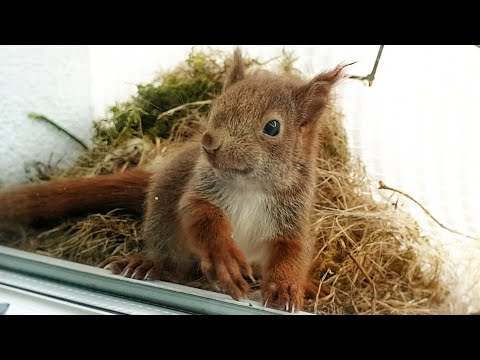 Red Squirrels on the window sill (semi documentary)