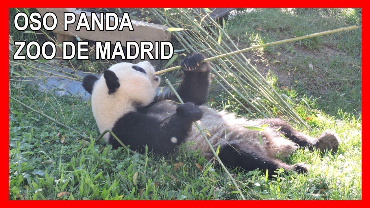 Oso Panda Comiendo Bambú 4K