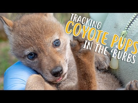 Tracking Highly Cute Coyote Pups in the 'Burbs | Forest Preserves of Cook County