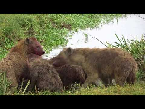 Wildebeest kill in Ngorongoro Crater part 4