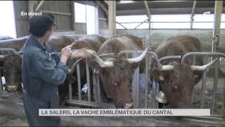 FEUILLETON : La Salers, la vache emblématique du Cantal