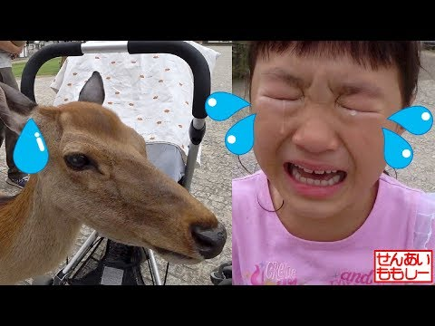 奈良公園でシカにエサやり Deer Feeding Nara Park