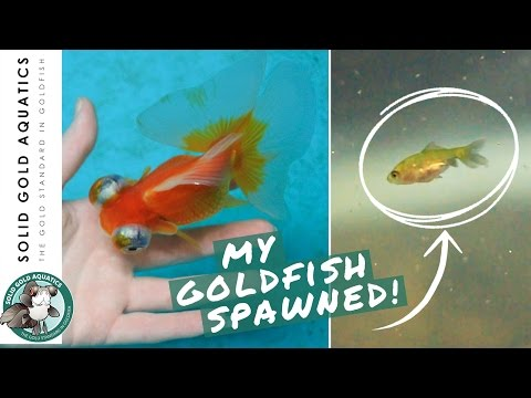 Newly Hatched Goldfish Fry // FISH ROOM VLOG