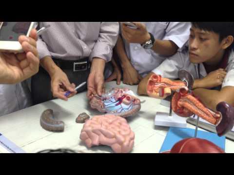 Giải phẫu người-Dạ dày,ruột non,ruột già,tụy,lách