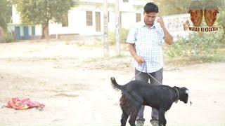Grandma became goat  दादी बणगी  बकरी rajasthani hariyanvi comedy murari lal | Murari ki kocktai