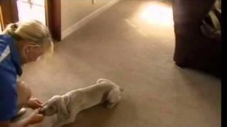 Cooper The Weimaraner Puppy