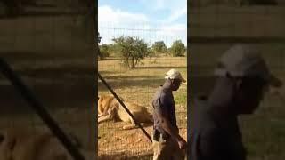 Lion feeding in south Africa national zoologicalpark#shorts/#wildlife