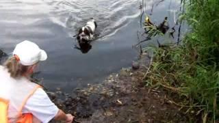 Cocker Spaniel (american) Bird Dog Water Retrieve
