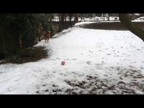 Hungarian vizsla playing football