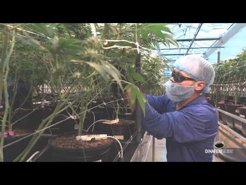 7Acres one of the biggest marijuana greenhouses' security review