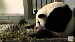Giant Panda Twins Birth