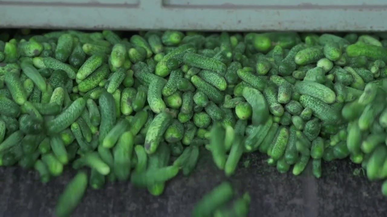 6 соток - Производство маринованных огурцов