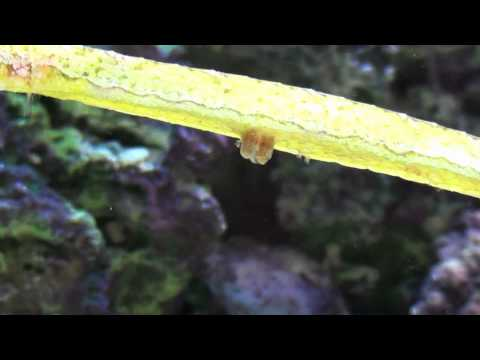 Birth Of An Alligator Pipefish