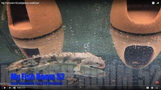 Polypterus Endlicheri Endlicheri - Dragon Fin - Saddled Bichir - Feeding #f52