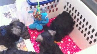 LMS Puppy Pen Playtime  2011