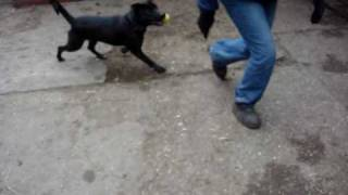 Sam - Staffordshire Bull Terrier Cross Labrador Avaliable For Adoption