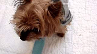 """Please Pray For """"teddy B"""" - A Sadly Neglected Yorkie"""