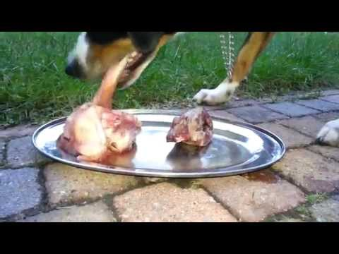 appenzell-mountain-dog-mix-eats-raw-meat-and-bones-(barf-nrv)