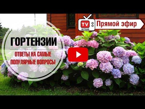 Гортензии в саду 🌺 Ответы на самые популярные вопросы про гортензии