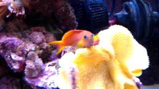 A Beautiful Midas Blenny Marine fish sitting in his leather coral