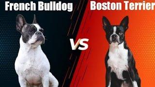 Boston Terrier Vs French Bulldog | French Bulldog Vs Boston Terrier |  Dogs Junction