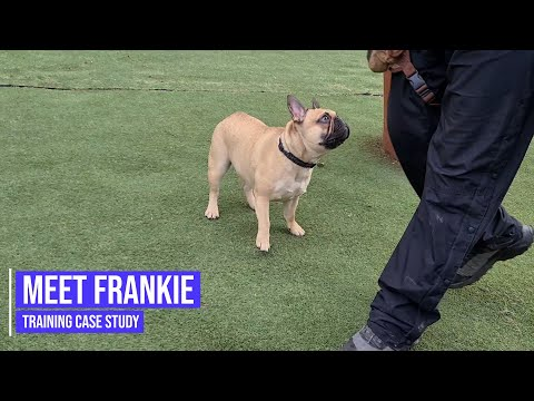 Helping a French Bulldog with dog to dog aggression