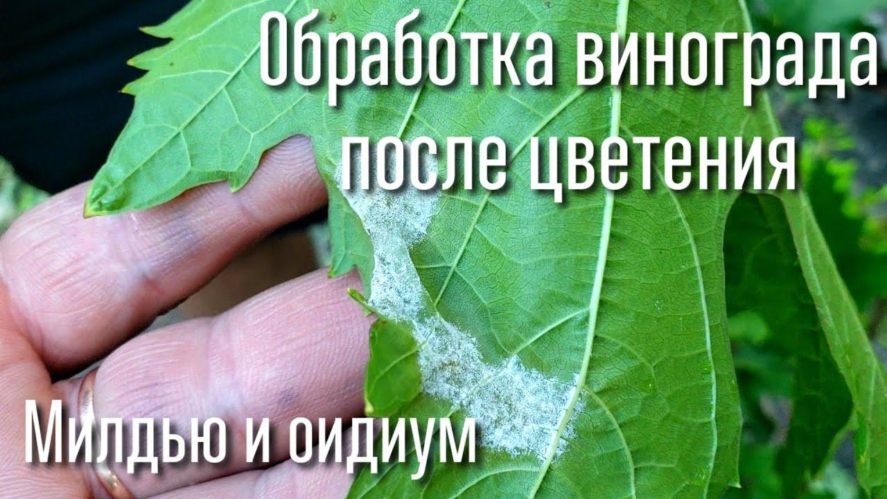 Как распознать милдью, оидиум. СРОЧНАЯ обработка после цветения винограда.