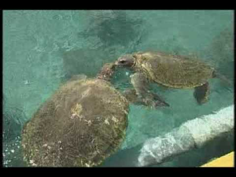 Things to Do in Cayman - Turtle Farms