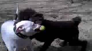 Poodle Terrorizing American Bulldog