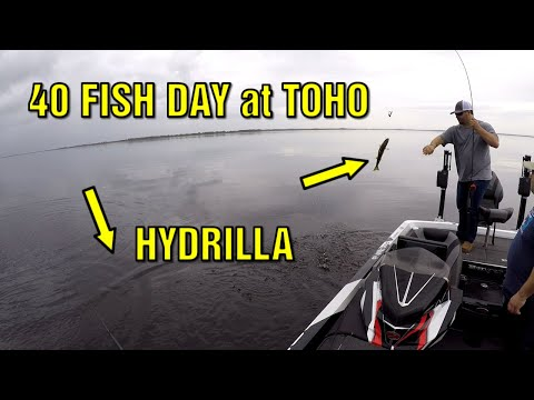 Lake Toho Bass Fishing In Hydrilla | 40 Fish Day