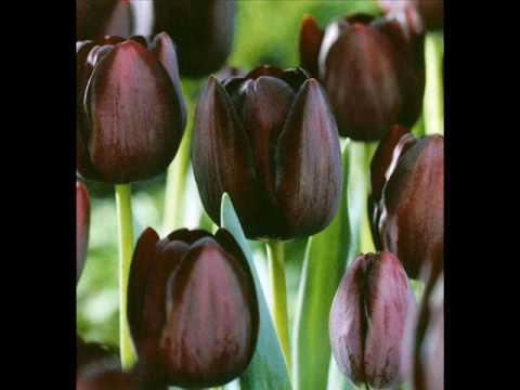 TS Zvona - Tulipan
