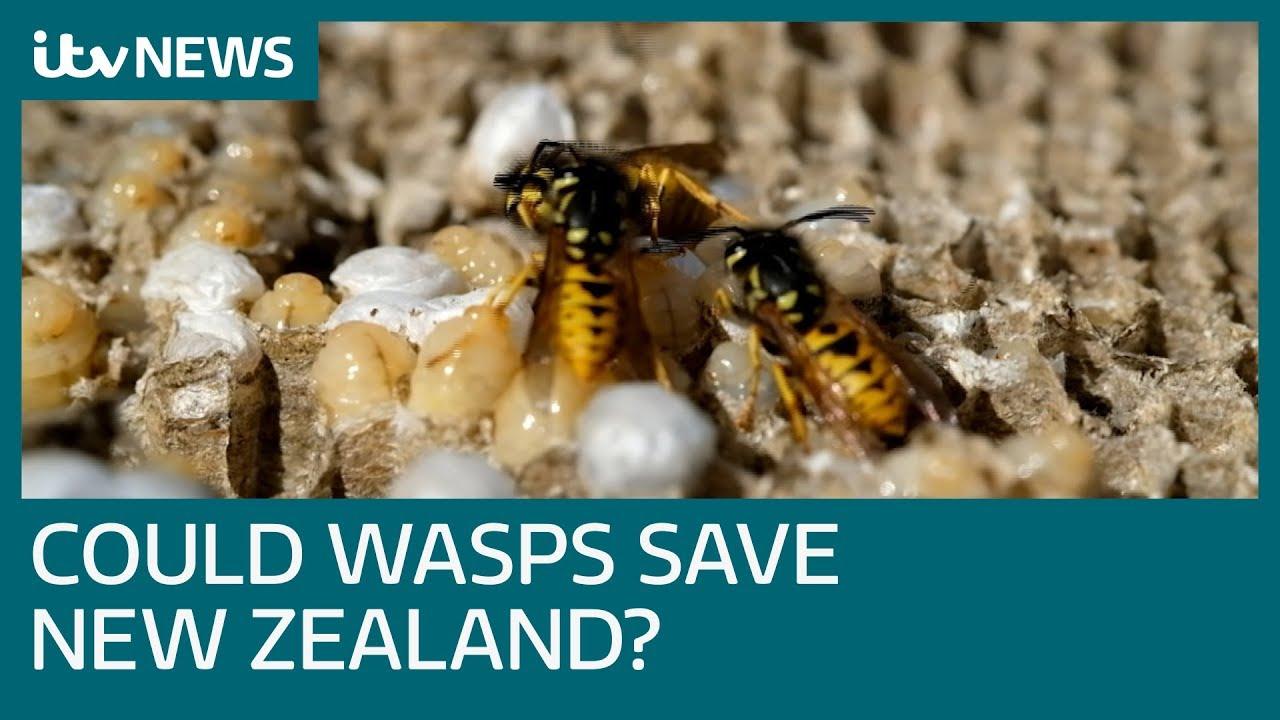 scientists-seek-wasp-parasite-to-save-new-zealand-s-wildlife-itv-news