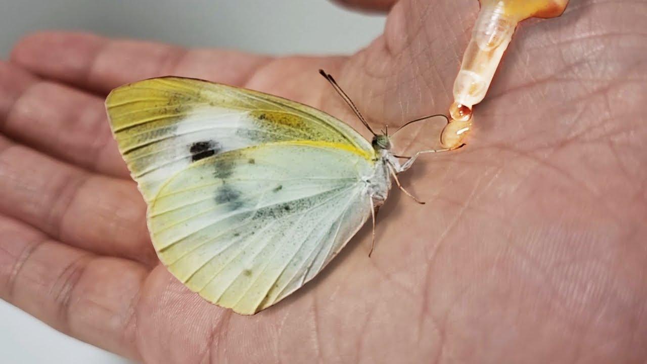 배추흰나비 알을 부화시켜서 성체까지 키우면 생기는 일 (The process of making friends with butterfly)