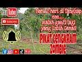 Pikat Kutilang Cengkram Zombie Otw Way Semangka  Mp3 - Mp4 Download