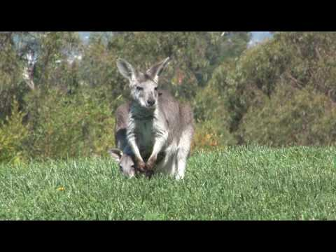 Baby Wallaroo Born at Oakland Zoo thumbnail