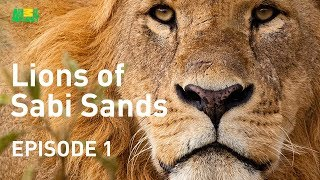 Lions of Sabi Sands - Episode 1  | Meet the Mapogo Clan