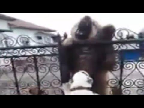 CauCasian vs ALaBai - Caucasian Looks like a Bear !