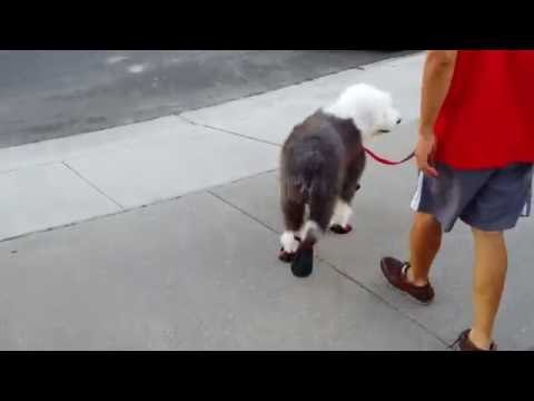 Cooper, Old English Sheepdog, 올드 잉글리쉬 쉽독, trying out boots