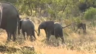 Słonie i słoniątka - dziki świat Afryki  ,, Safari