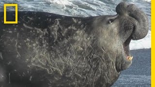 Elephant Seal on the Loose | Do or Die