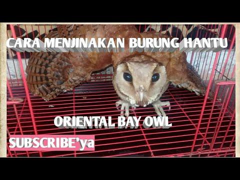 Cara Menjinakan Dan Merawat Burung Hantu Oriental Bay Owl