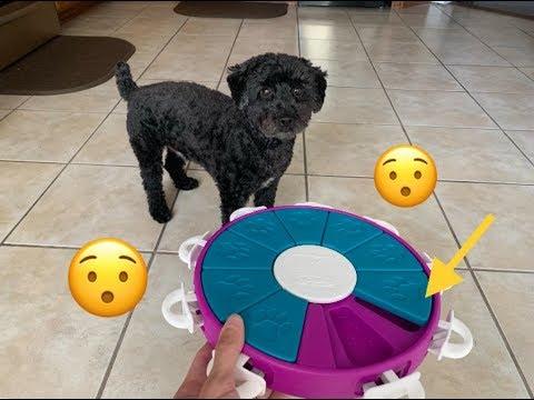 Testing My Poodles's  Intelligence! - Dog IQ Puzzle Test!