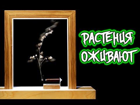 Вопрос: Ландыш японский, что за растение, как выглядит?
