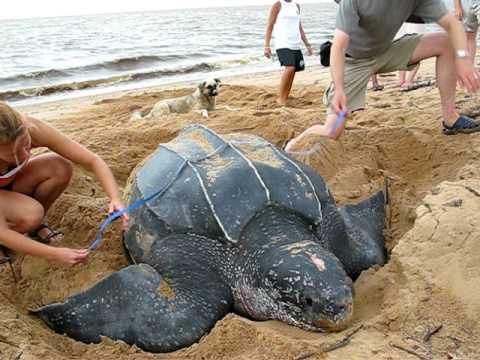 Leatherback monitoring in Galibi, Suriname - Oceanic Society
