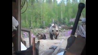 Неожиданное нападение медведя