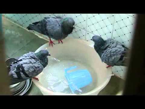 Ninja pigeon / Ninja doves