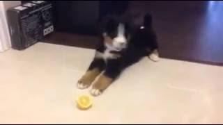 Новинка  -2016.  Смешные животные - щенок пробует  лимоном ,морьщится