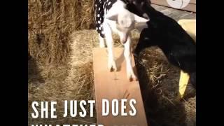 Goat Loves Climbing All Over Her Favorite Donkey