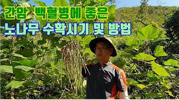 간암·간경화·백혈병에 탁월한 효과가 있는 노나무 수확시기 및 방법 소개.